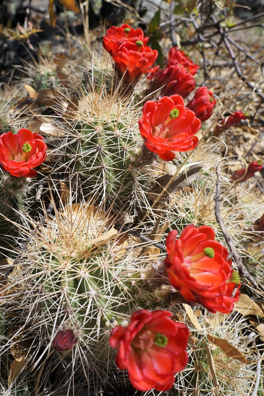 Hedgehogcactus1